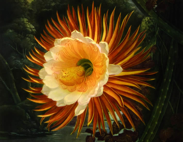 <b>Queen of the Night: Cereus by Sitwell, Sacheverell, and Wilfrid Blunt</b><br>can be found in <i>Great Flower Books</i> at Woodward Library Memorial Room Extension Z1023 .S4 1956
